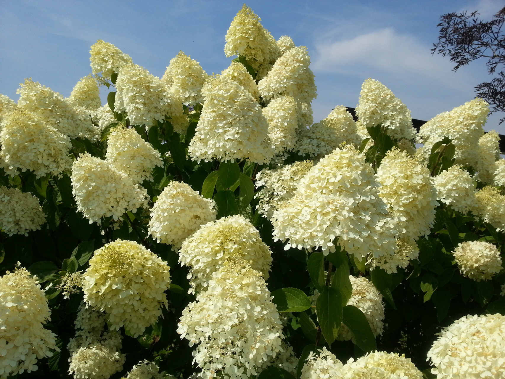 hydrangea paniculata 39 limelight 39 rispenhortensie. Black Bedroom Furniture Sets. Home Design Ideas