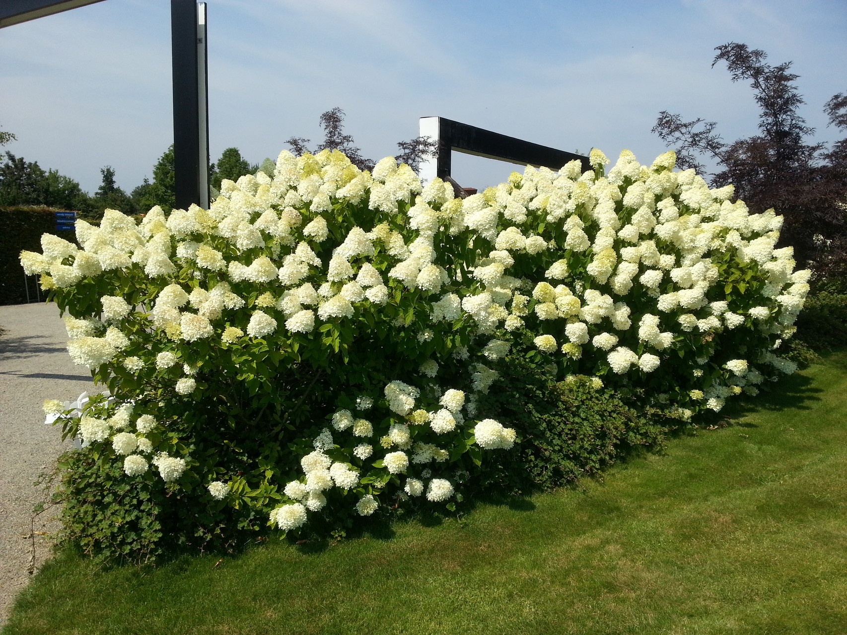 hydrangea paniculata 39 limelight 39 rispenhortensie pflanzenwissen. Black Bedroom Furniture Sets. Home Design Ideas