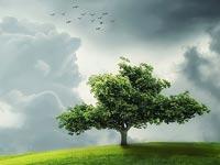 Der Götterbaum