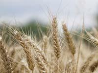 Wünsche des Bauern - Weise Geschichte