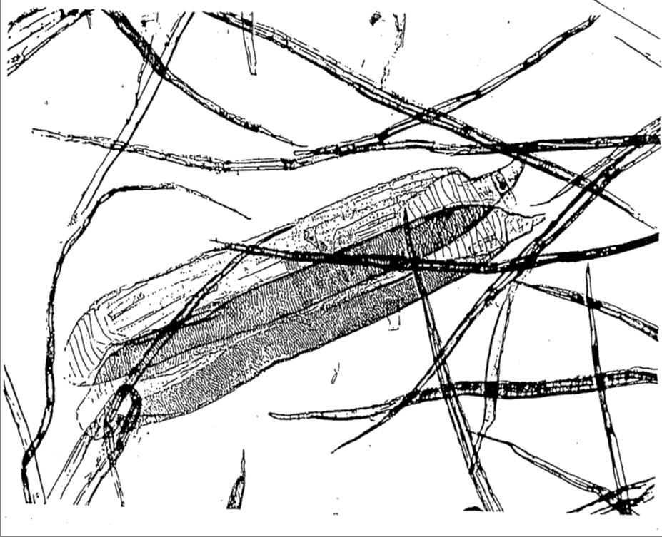 Birke unter dem Mikroskop