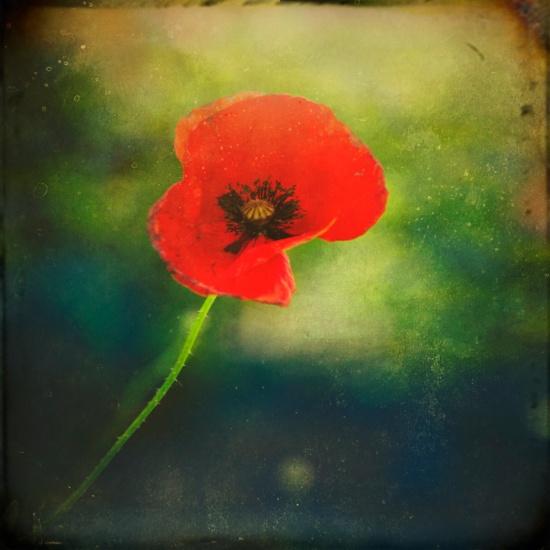 """I Found a Poppy"" photograph by Victoria Herrera"