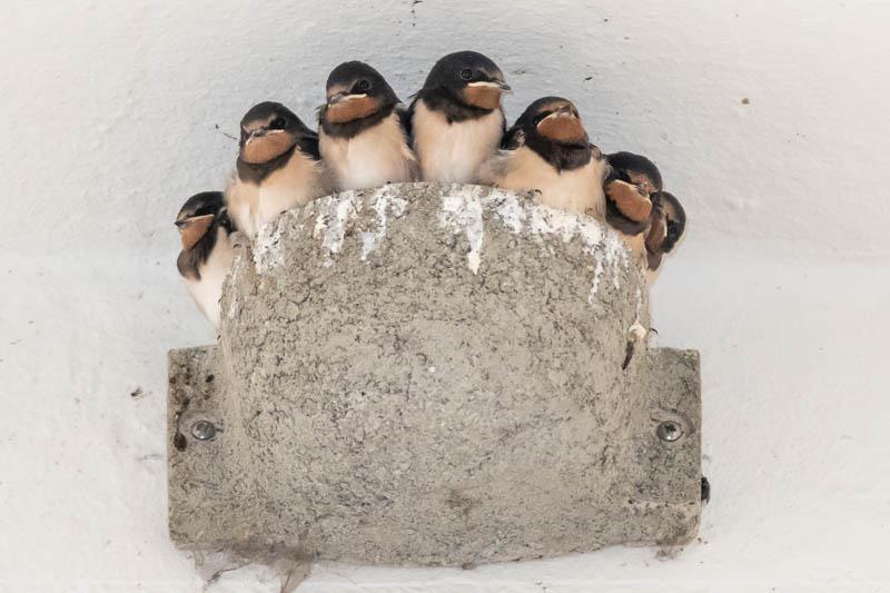 Selten: Sieben Junge in einem Nest (Foto: Juretzky)