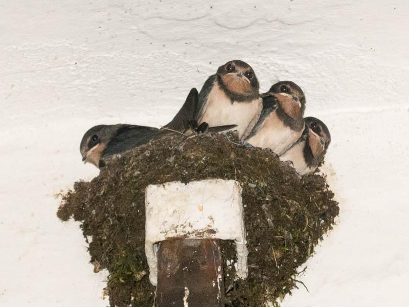 Erwachsene Jungvögel am Nest (Foto: Juretzky)
