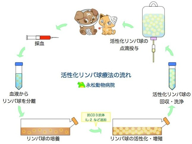 活性化リンパ球療法の流れ。