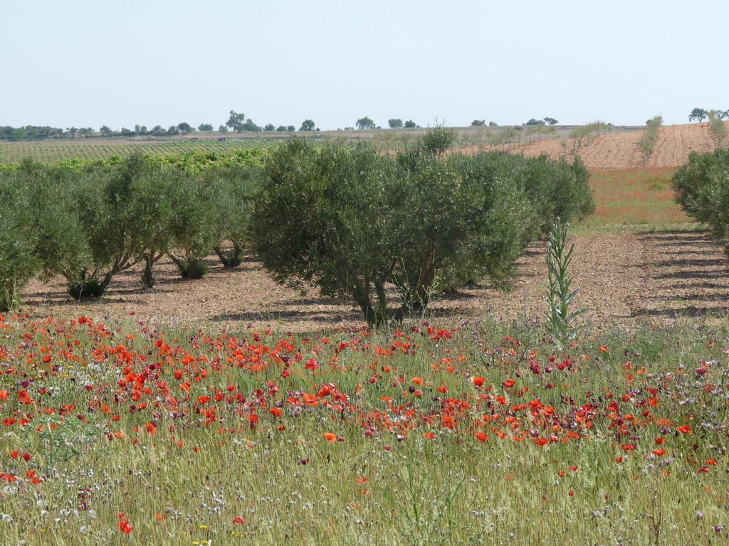 Ses oliviers