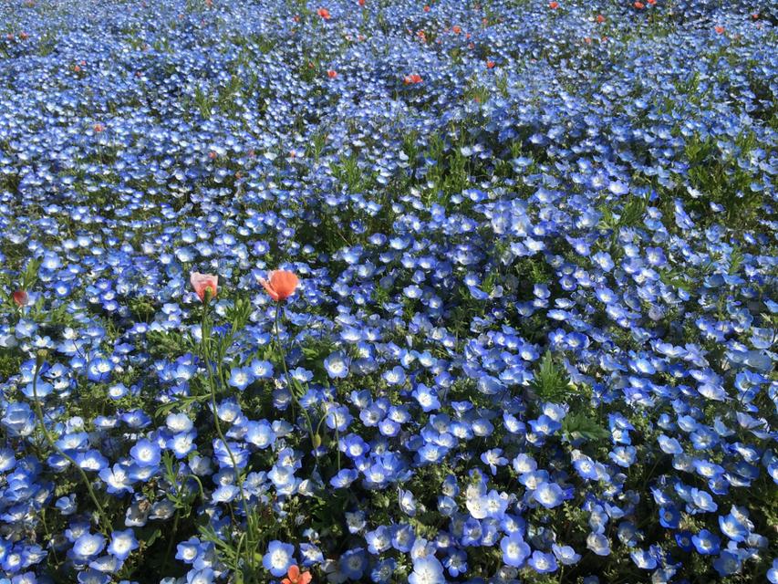 青い可愛い花、赤ちゃんの目に見えるので英語ではbaby blue eyes と言うそうです。