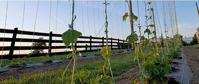 Virginia Hops Farm and Trellis