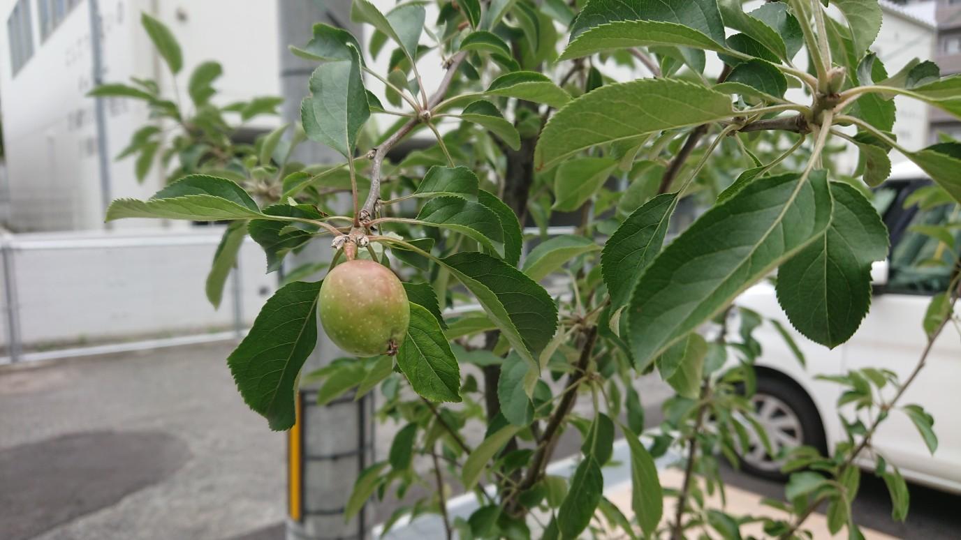 小さいながらも、りんごの木に実がなりました。