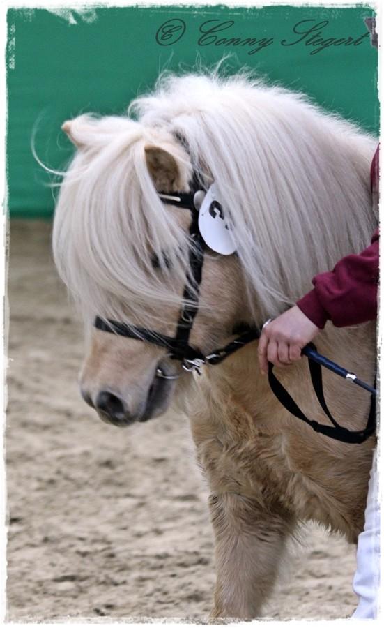 Kaspar - Shetland Pony (ZG Steuer- Wienecke, Uchtdorf)