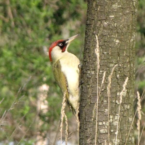 Pic vert - Green woodpecker