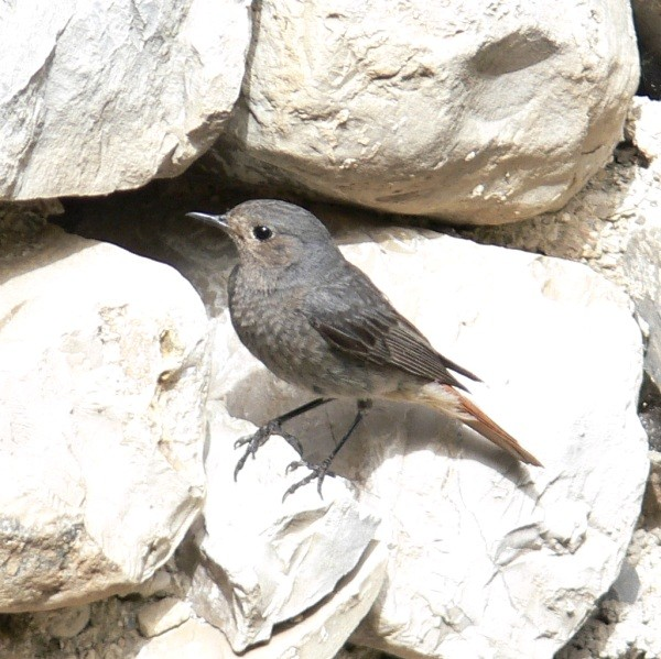 Rougequeue noir - Black redstart