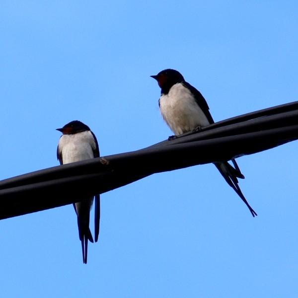 Hirondelle rustique - Swallow