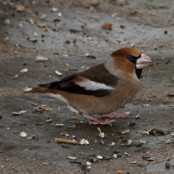 Gros-bec casse-noyaux - Hawfinch