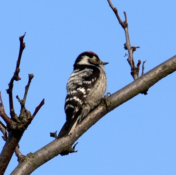 Pic epeichette - Lesser spotted woodpecker