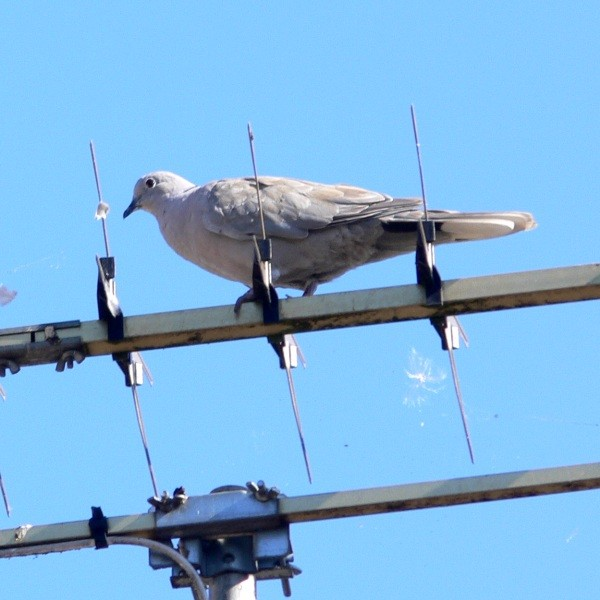 Tourterelle turque -Collared dove