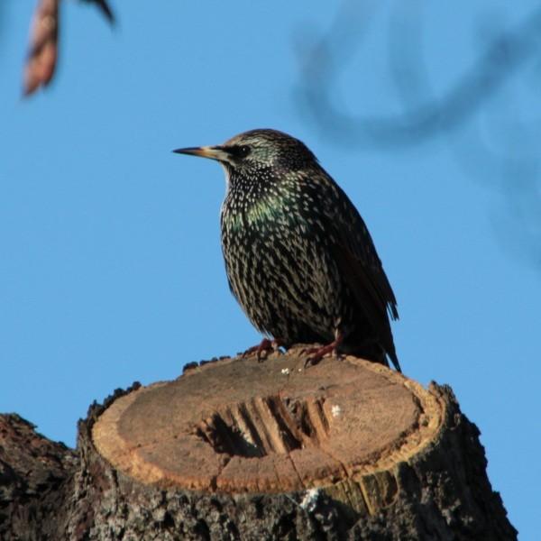 Etourneau sansonnet - Starling