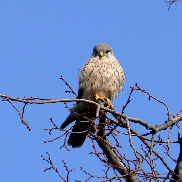 Faucon crécerelle - Kestrel
