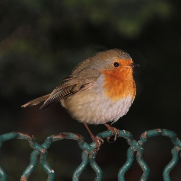 Rouge-gorge familier - Robin