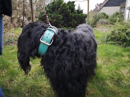 Schwarzer Hund mit Halsband tuerkis Bolleband