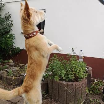 stehender Hund Lederhalösband Bolleband