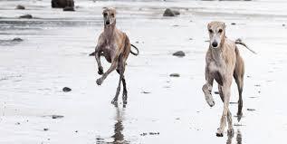 Windhundtraining Training für Windhunde Sighthoundcoach