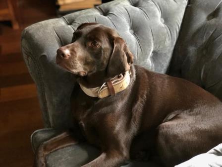 Labrador Hund Leder Halsband Bolleband