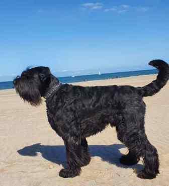 Sternenhalsband an schwarzem Hund Strand blauer Himmer Bolleband