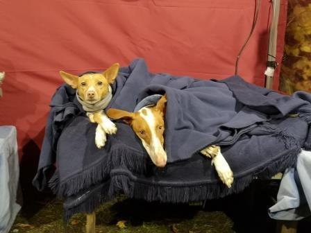 Hund in Decke mit Lederhalsband von Bolleband Leder Handarbeit