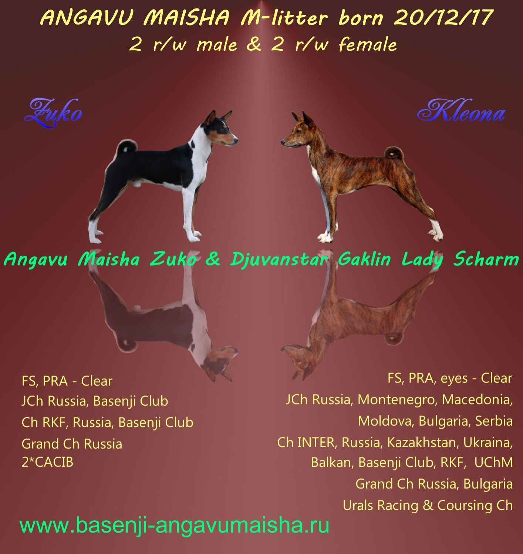 basenji puppies for sale - Kennel basenji Angavu Maisha