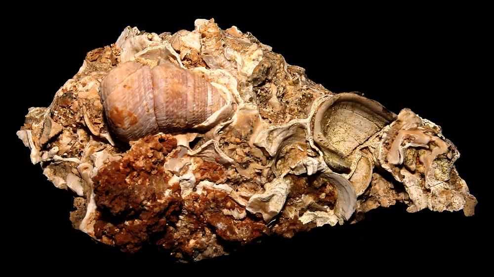 Jujubinus exasperatus e Striarca lactea, Sant'Agostino (Civitavecchia, RM)