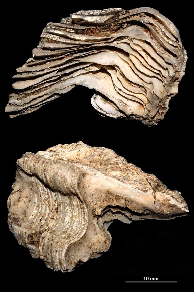 Ostrea edulis, calcareniti di Tarquinia (VT): frammento della cerniera