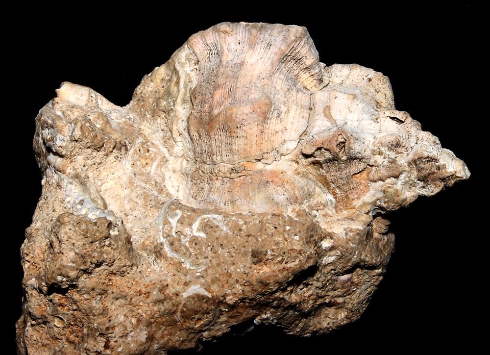 Hexaplex truncatula, Sant'Agostino (Civitavecchia)