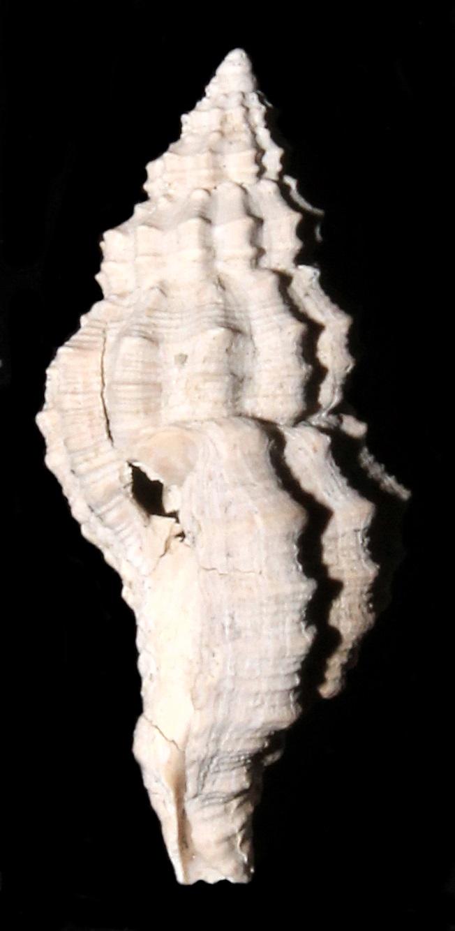 Muricopsis cristata, calanchi di Sabbiuno (BO)