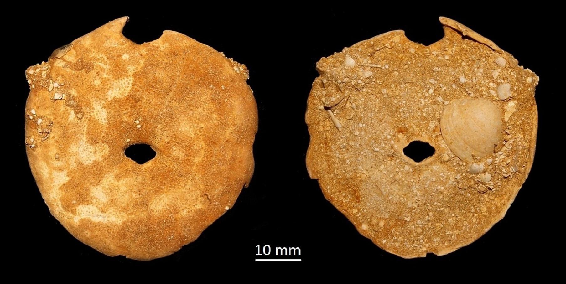 Echinolampas richardii, Miocene dell'Aquitania
