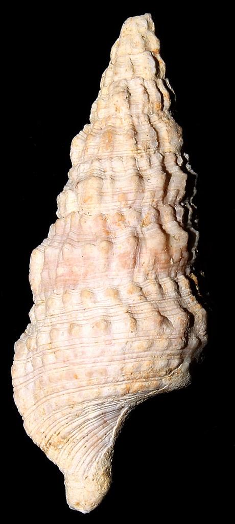 Cerithium vulgatum, Macchia della Turchina (Monteromano, VT)