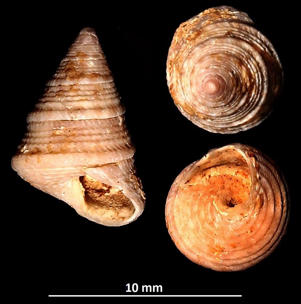 Jujubinus exasperatus, Sant'Agostino (Civitavecchia, RM)