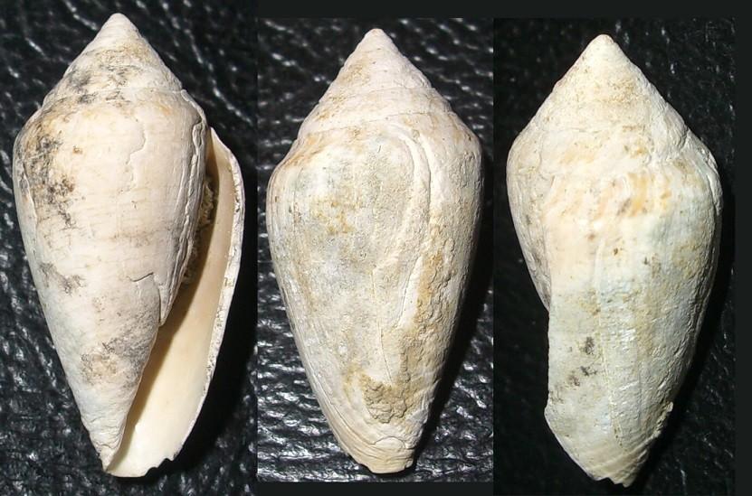 Conus desidiosus, Macchia della Turchina, Monteromano (VT)