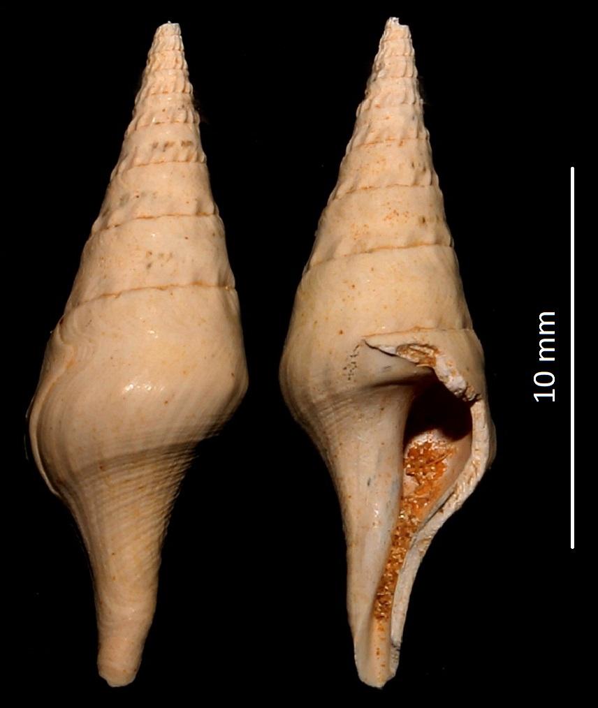 Clavatula degrangei, Miocene dell'Aquitania, danneggiato