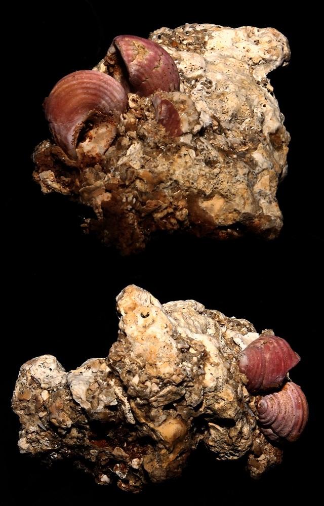 Gruppo di Homalopoma sanguineum, Sant'Agostino (Civitavecchia, RM)