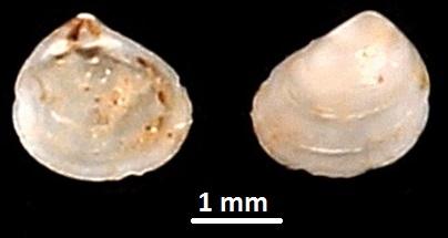 Goodallia macandrewi? Sant'Agostino, Civitavecchia (RM)