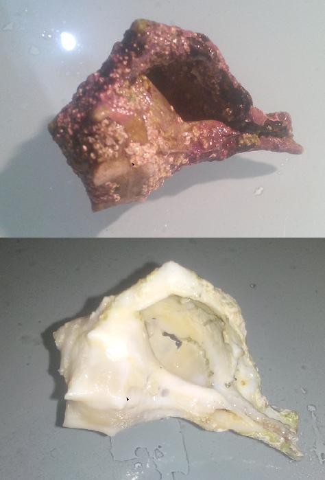 Bolinus brandaris prima e dopo il trattamento in candeggina: sono serviti 4 lavaggi da 8 minuti circa e spazzolate ogni volta. Purtroppo la conchiglia è danneggiata permanentemente dall'erosione chimica di altri organismi marini (spugne?)
