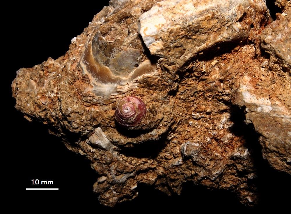 Homalopoma sanguineum, vicino a Bolma rugosa, Sant'Agostino (Civitavecchia, RM)
