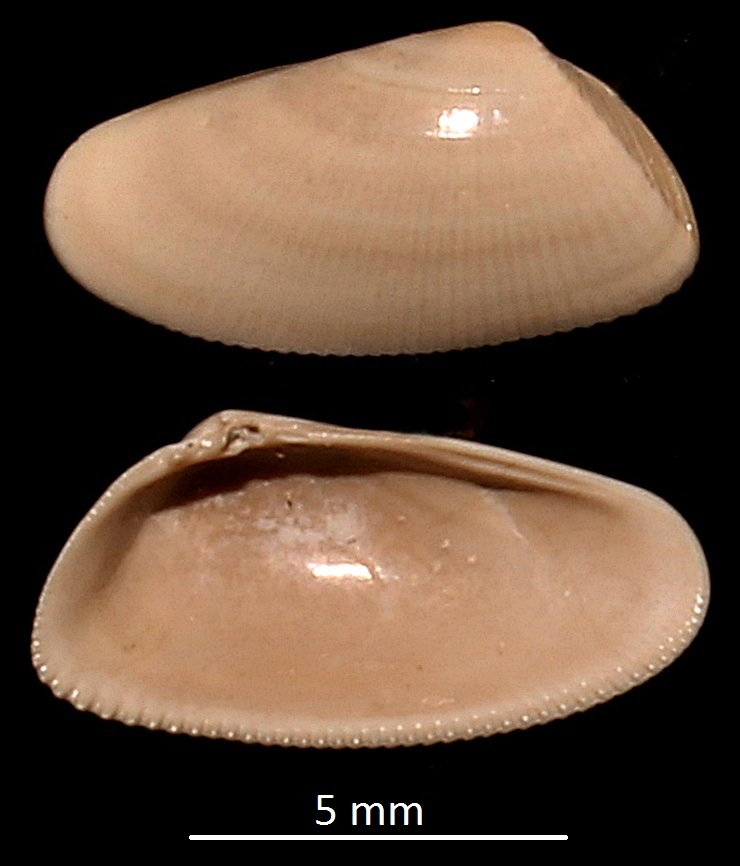 Donax (Paradonax) transversa, Miocene dell'Aquitania