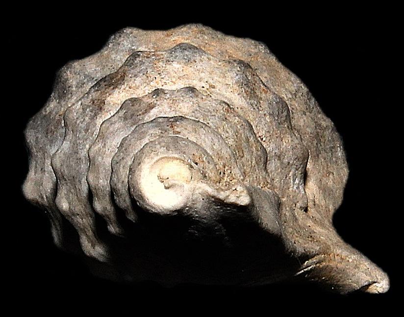 Aporrhais pespelcani, esemplare incompleto dello Stirone.