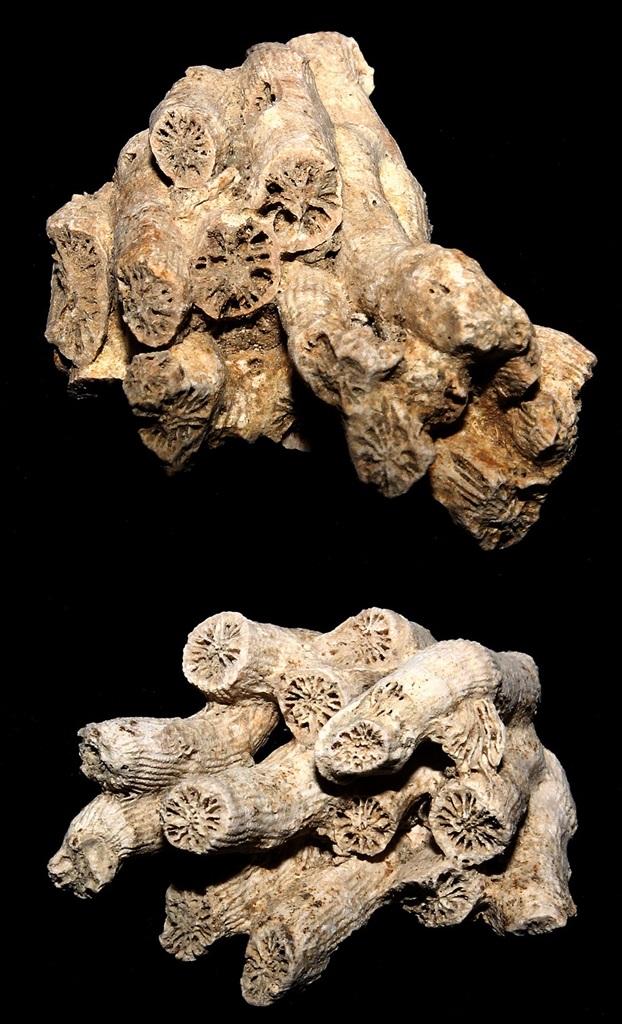 Cladocora caespitosa, Macchia della Turchina (Monteromano, VT)