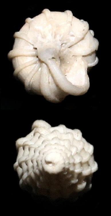 Epitonium cfr. communis dai calanchi di Sabbiuno (BO)