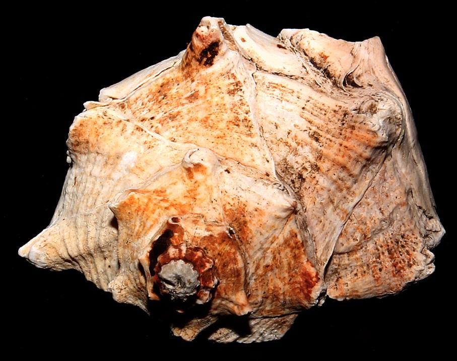 Frammento di Bolinus brandaris, Macchia della Turchina (Monteromano, VT)
