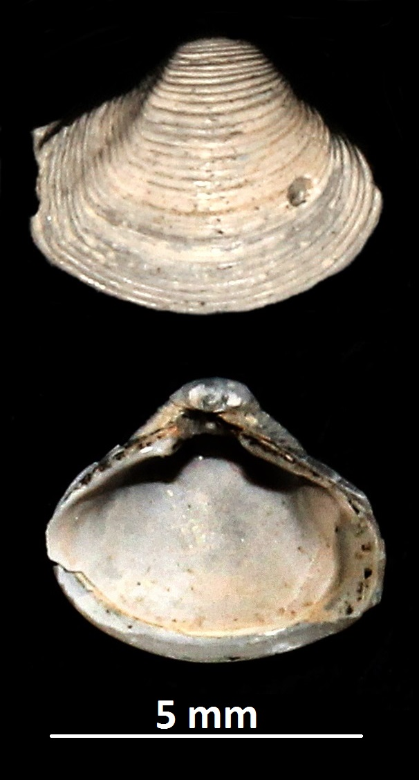 Corbula gibba, Vignola (MO)