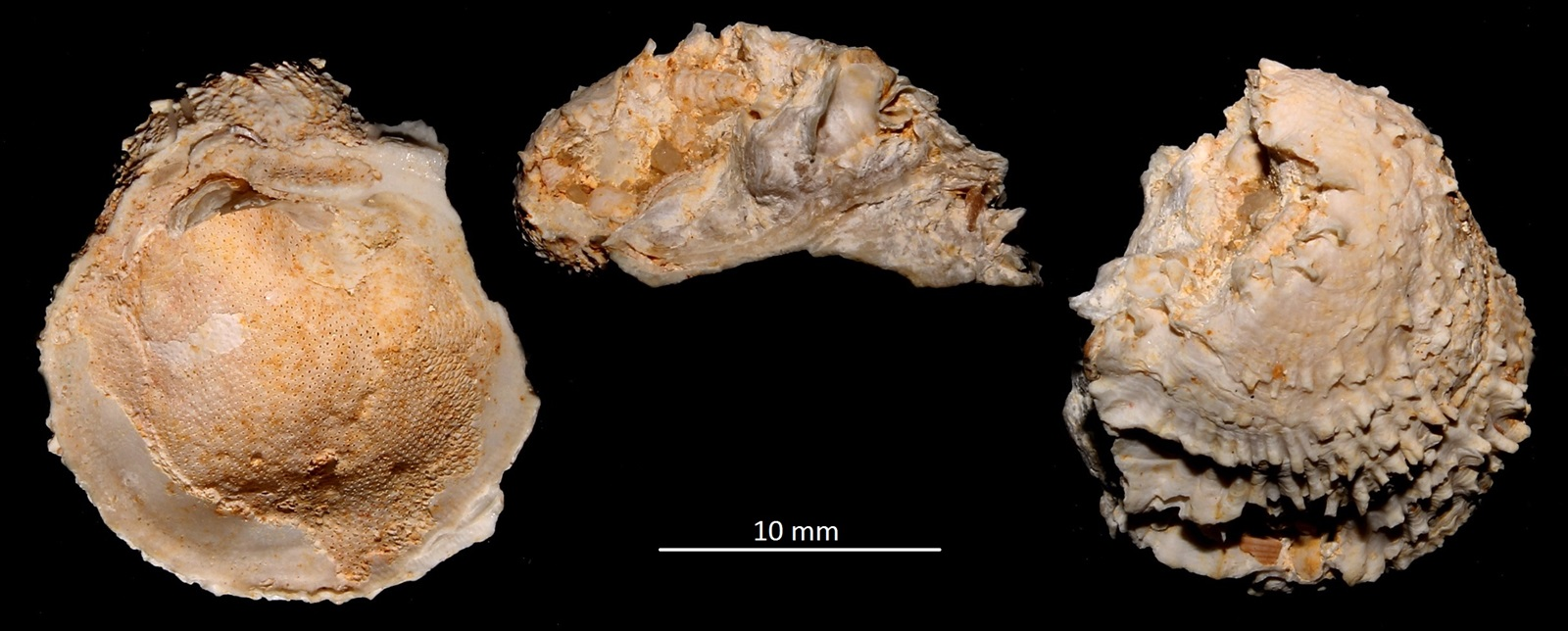 Chama gryphoides, Miocene dell'Aquitania